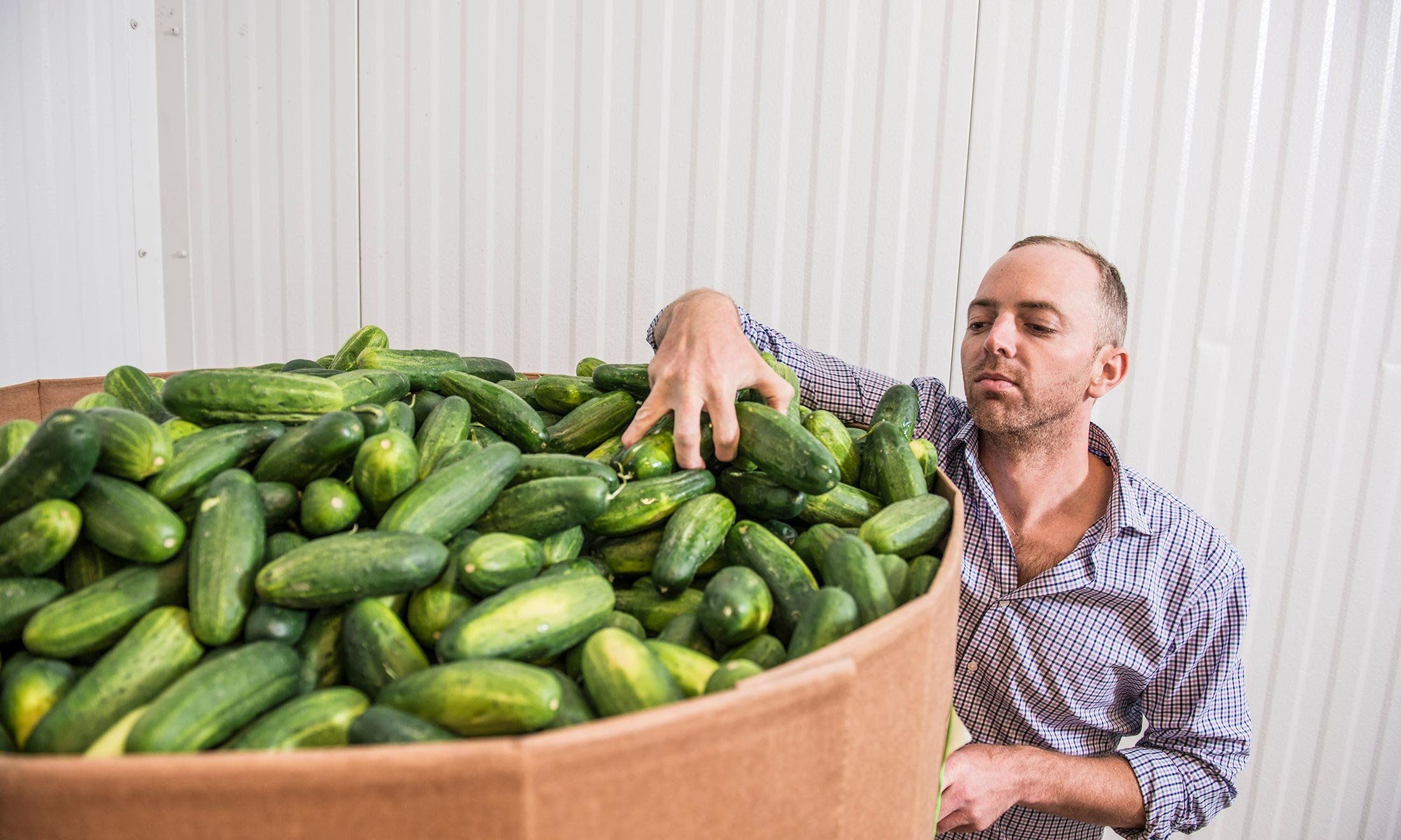 Joe McClure grabs a handful of cucumber's in the McClure Pickles warehouse