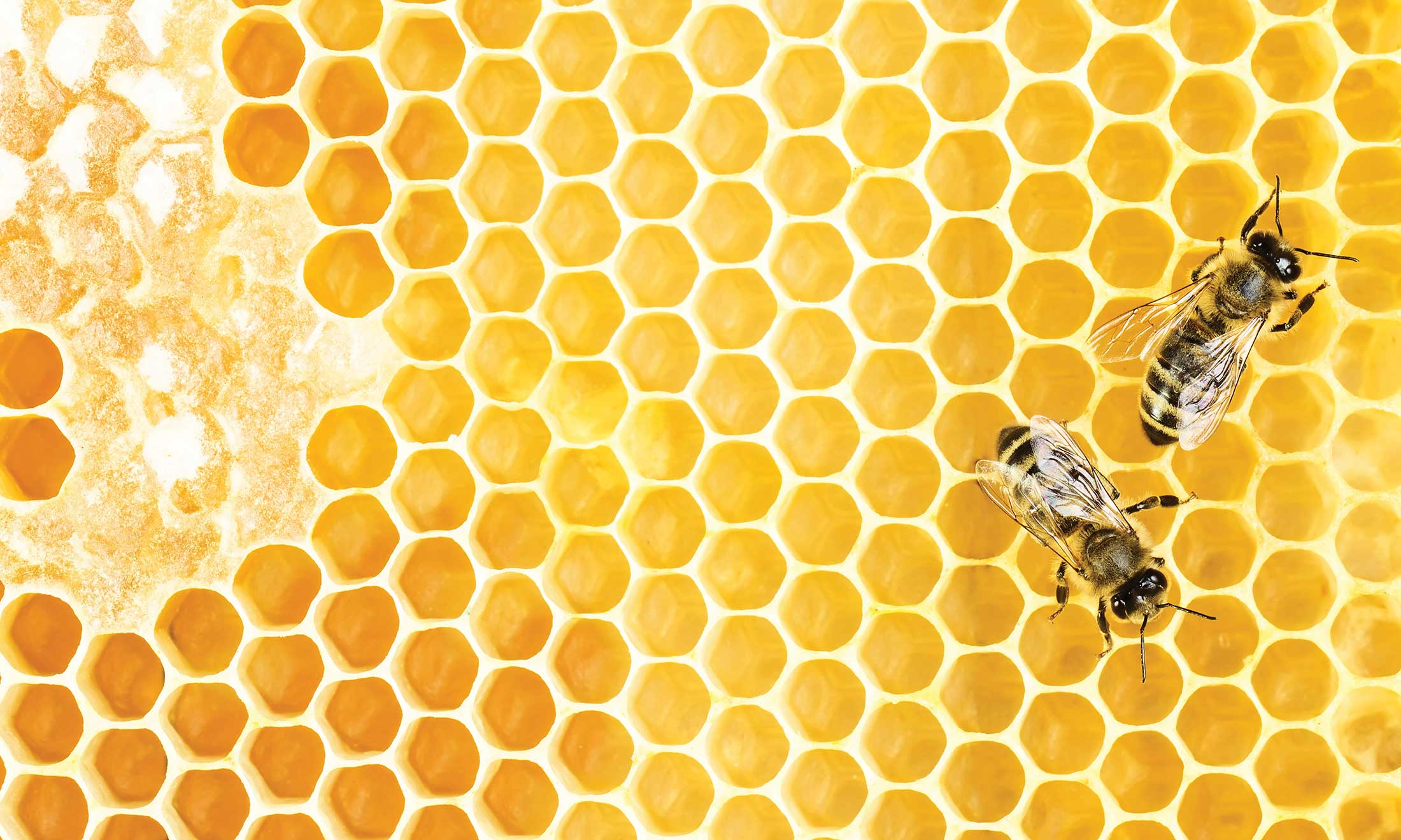 honeybee crawling on a yellow honeycomb