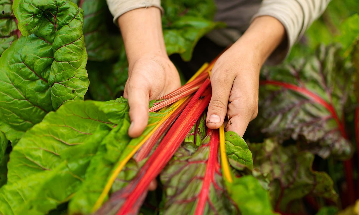 Hands holding swiss chard